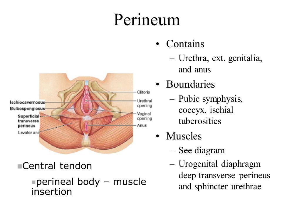 Perineum Contains Boundaries Muscles Urethra, ext. genitalia, and anus