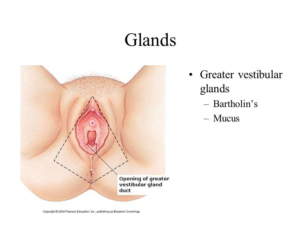 Glands Greater vestibular glands Bartholin's Mucus