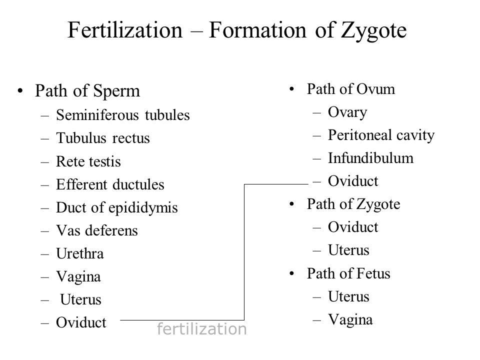 Fertilization – Formation of Zygote