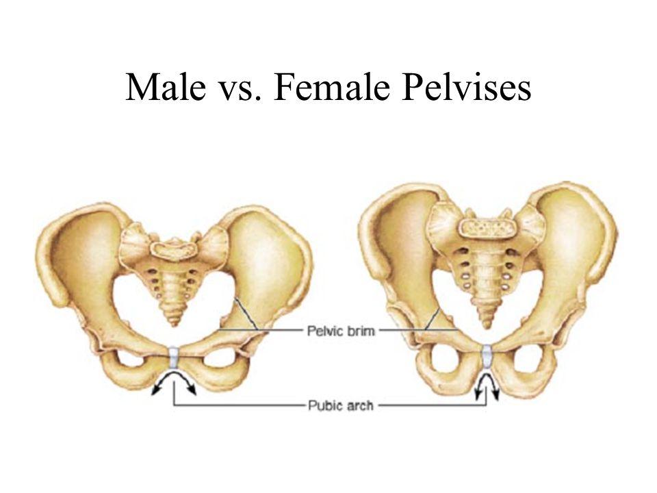 The Pelvic Cavity Bony Pelvis Reproductive Organs - ppt download