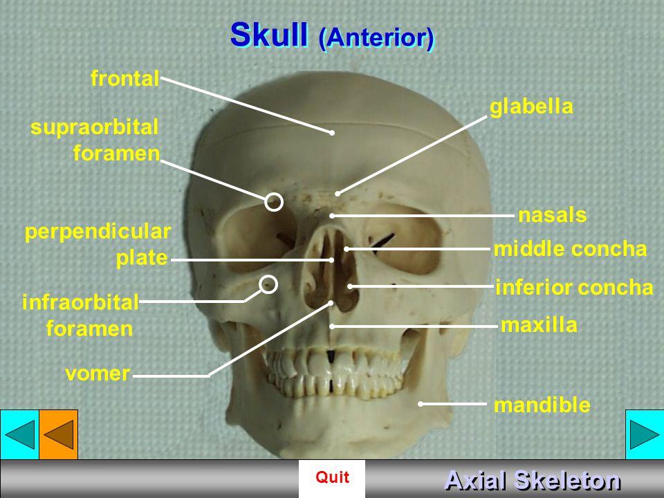 Skull (Anterior) Axial Skeleton frontal glabella supraorbital foramen