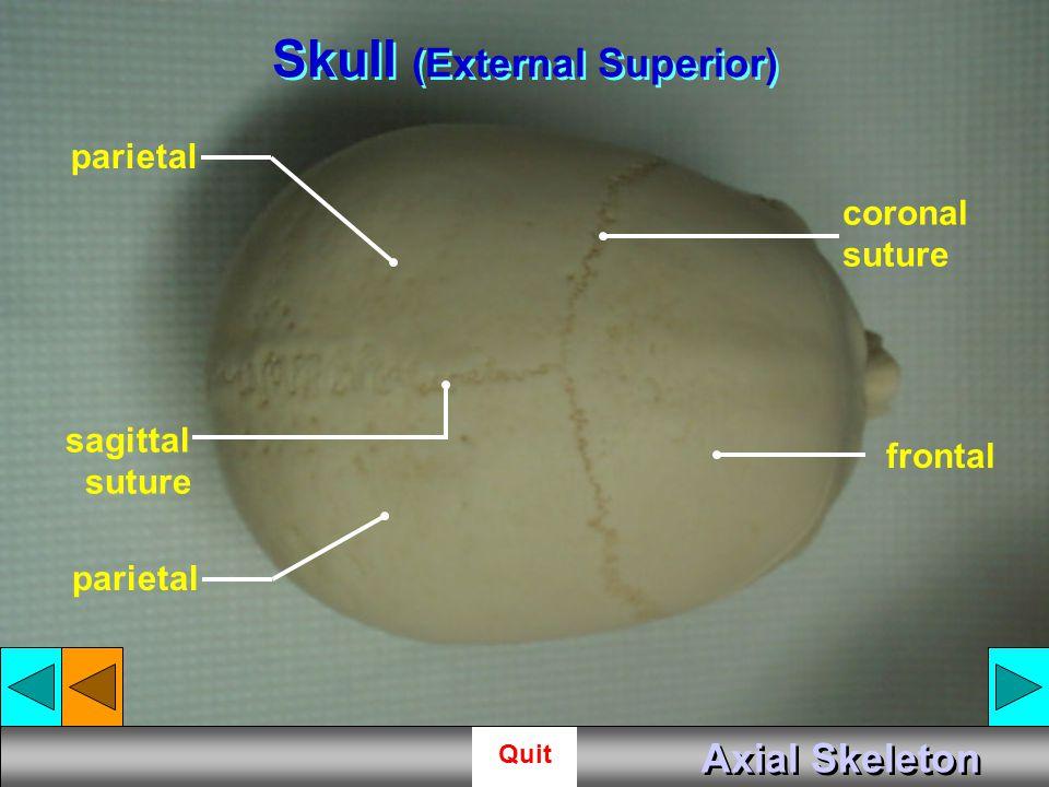Skull (External Superior)