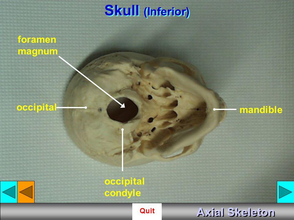 Skull (Inferior) Axial Skeleton foramen magnum occipital mandible