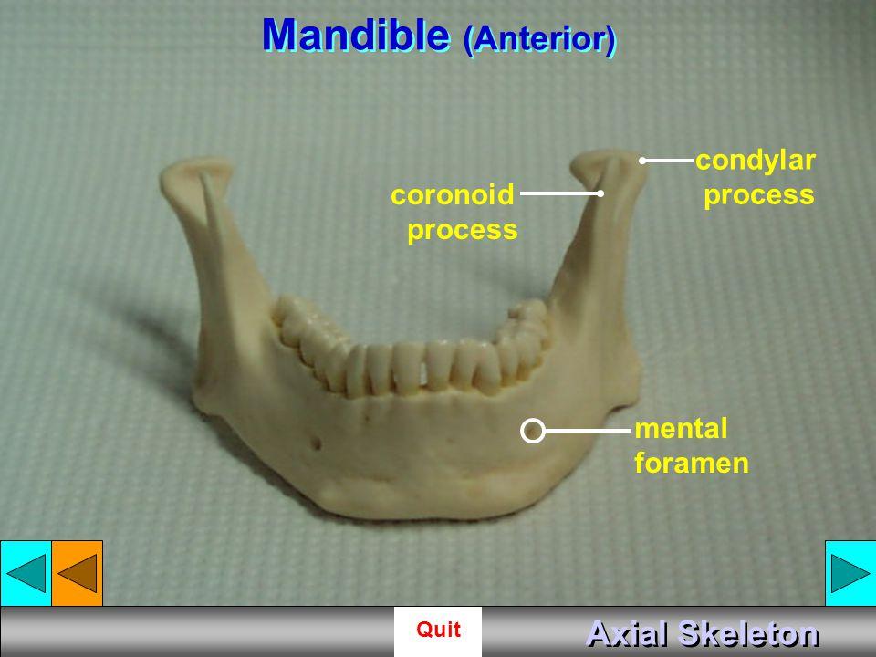 Mandible (Anterior) Axial Skeleton condylar process coronoid process