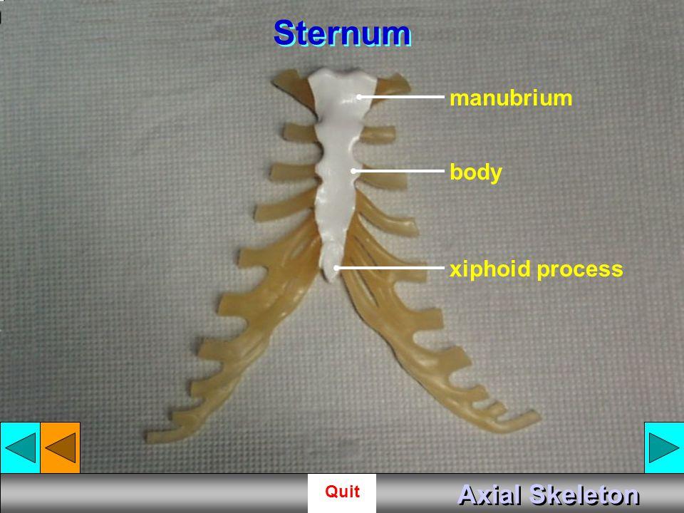 Sternum manubrium body xiphoid process Axial Skeleton