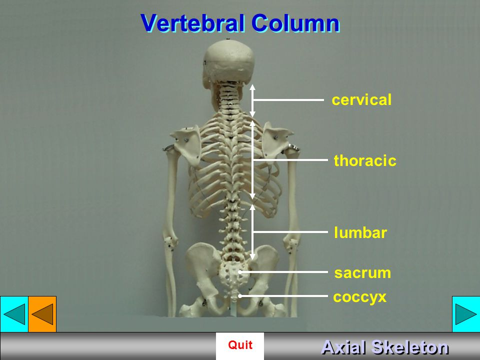 Vertebral Column cervical thoracic lumbar sacrum coccyx Axial Skeleton