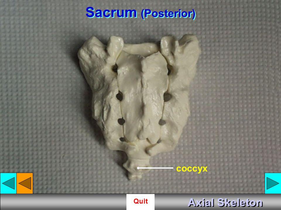 Sacrum (Posterior) coccyx Axial Skeleton