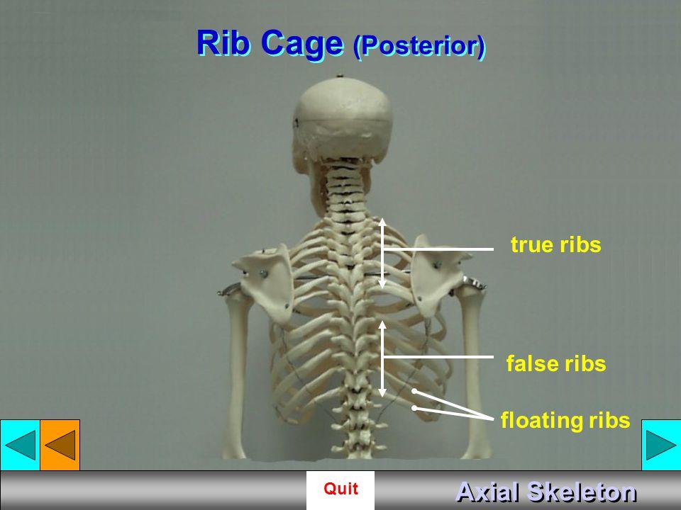 Rib Cage (Posterior) true ribs false ribs floating ribs Axial Skeleton