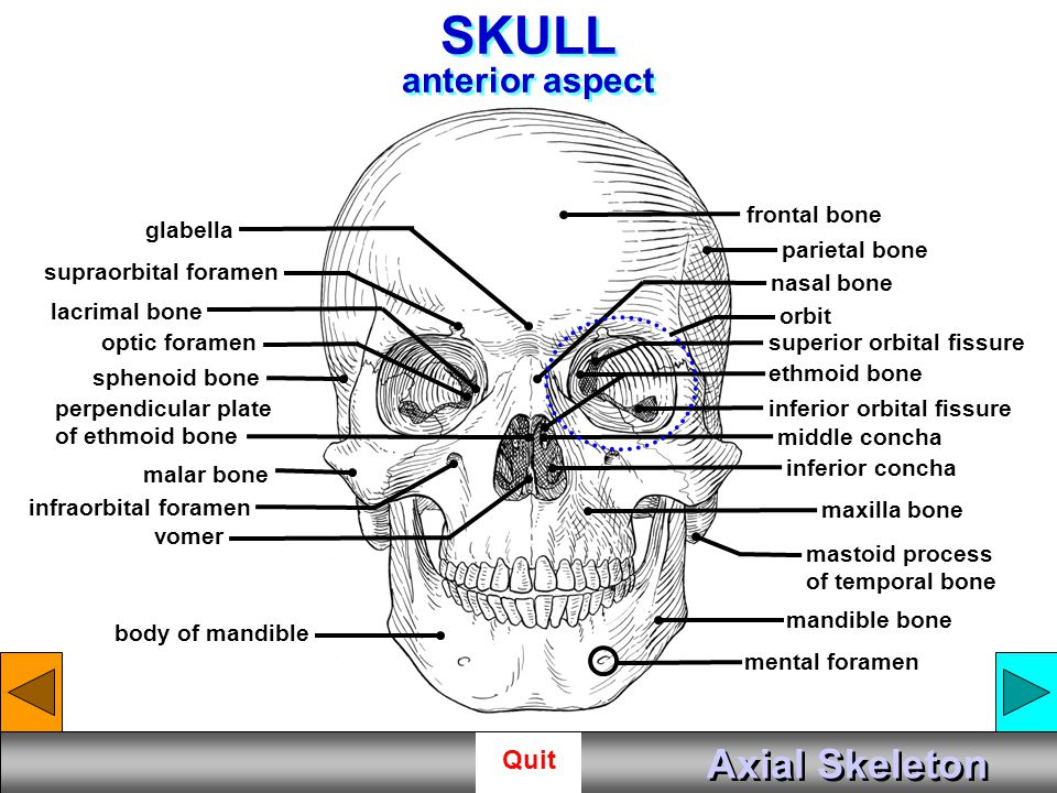 SKULL anterior aspect Axial Skeleton frontal bone glabella