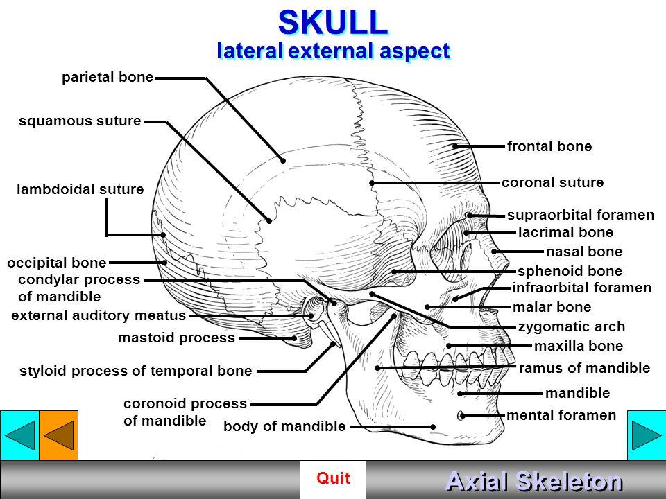 SKULL lateral external aspect