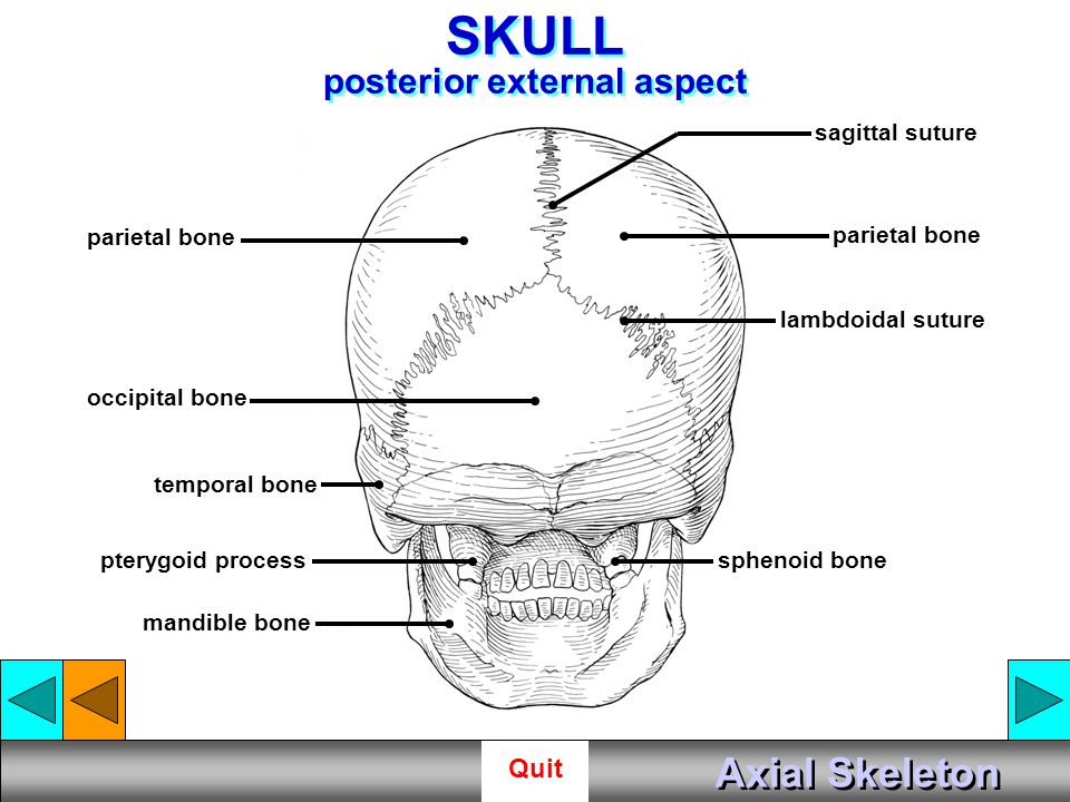 SKULL posterior external aspect