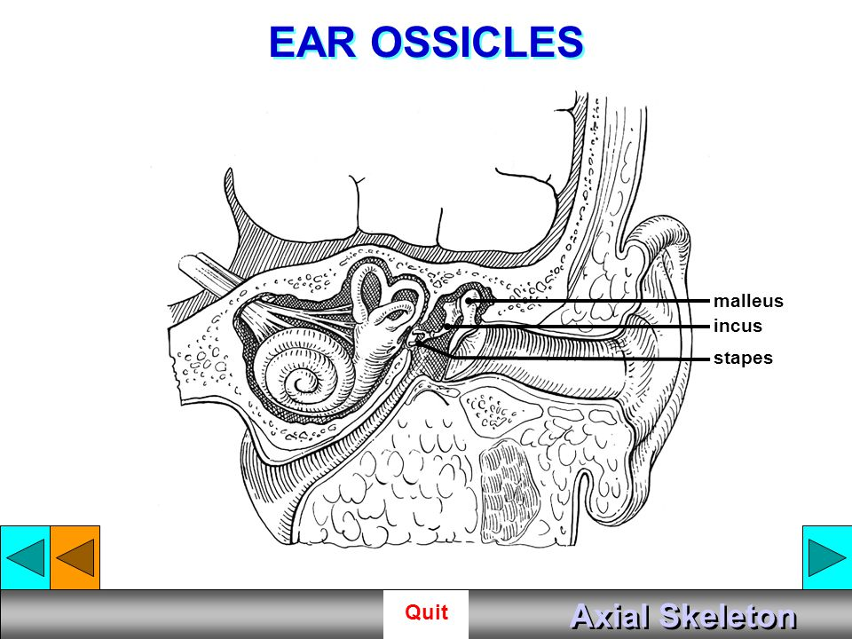 EAR OSSICLES malleus incus stapes Axial Skeleton