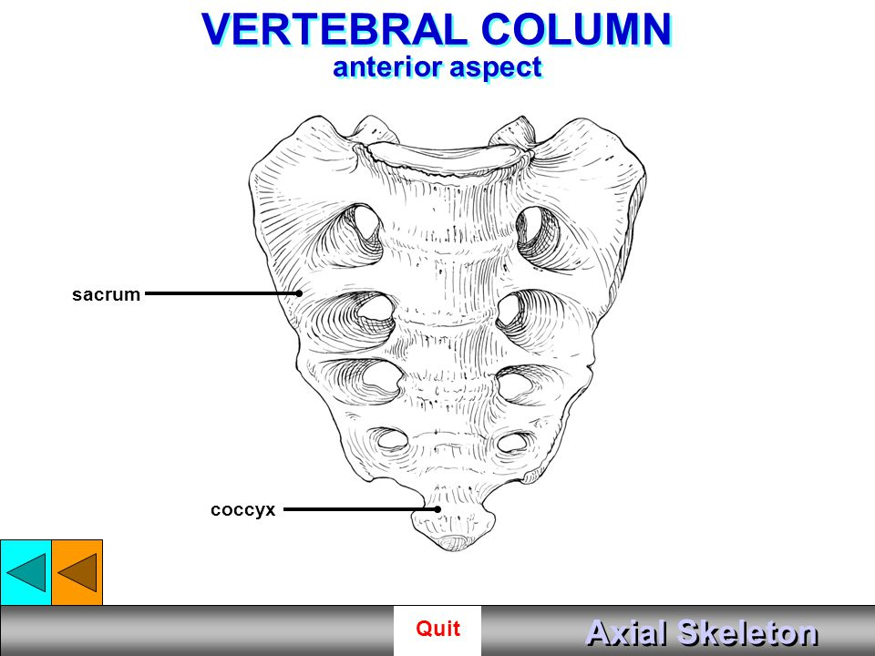 Axial Skeleton Start. - ppt video online download