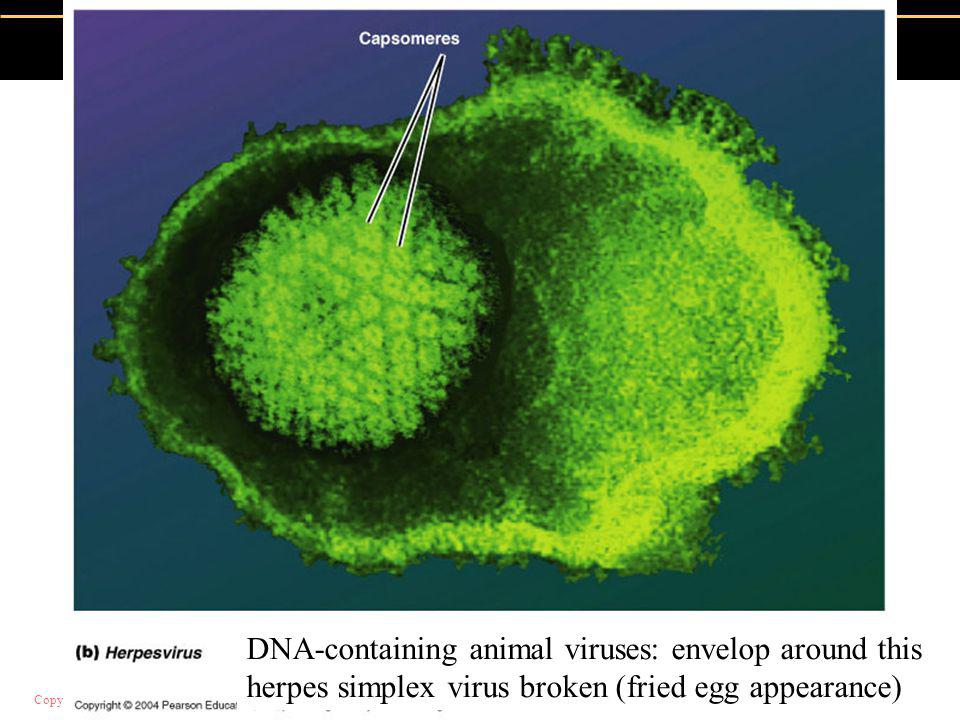 DNA-containing animal viruses: envelop around this herpes simplex virus broken (fried egg appearance)