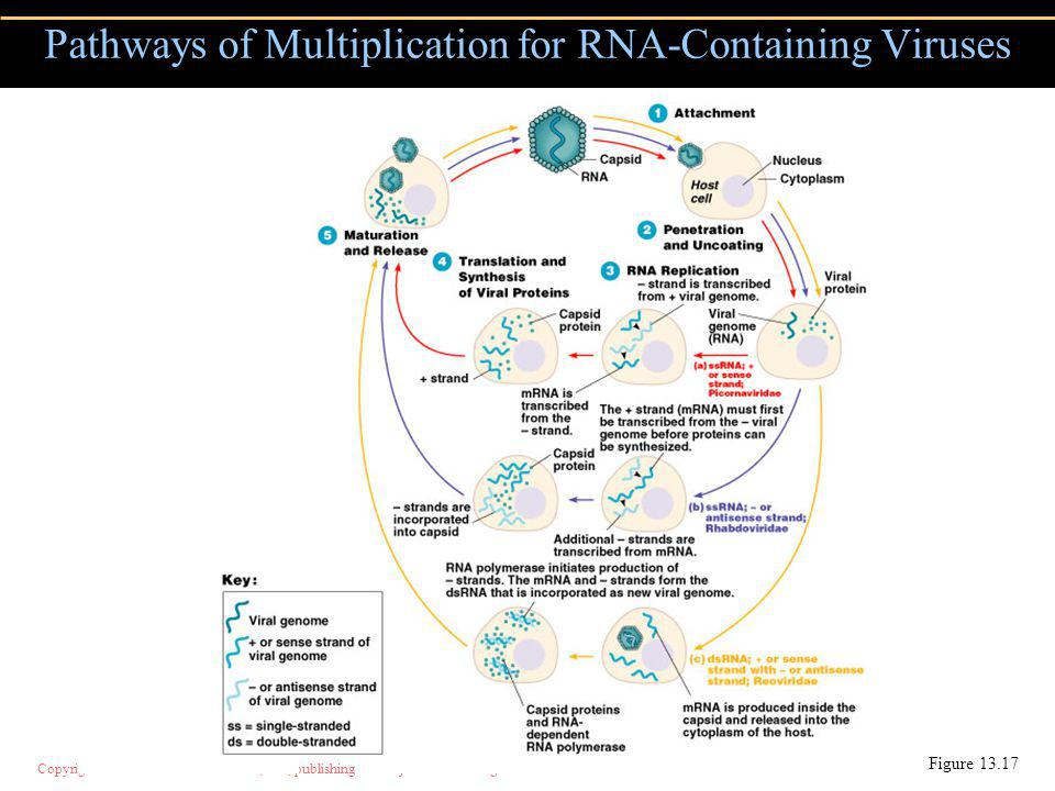 Pathways of Multiplication for RNA-Containing Viruses