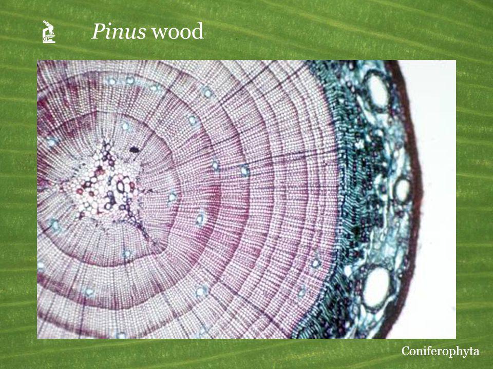 A Pinus wood Coniferophyta