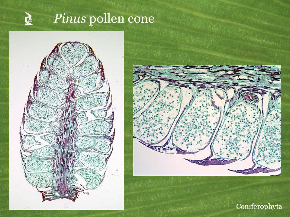 A Pinus pollen cone Coniferophyta
