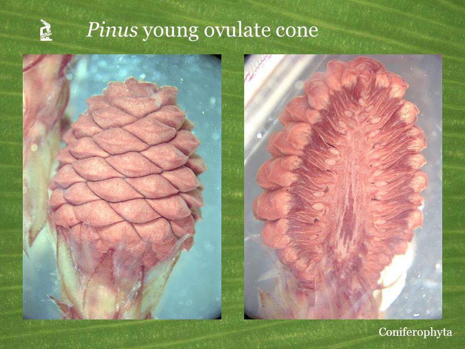 A Pinus young ovulate cone