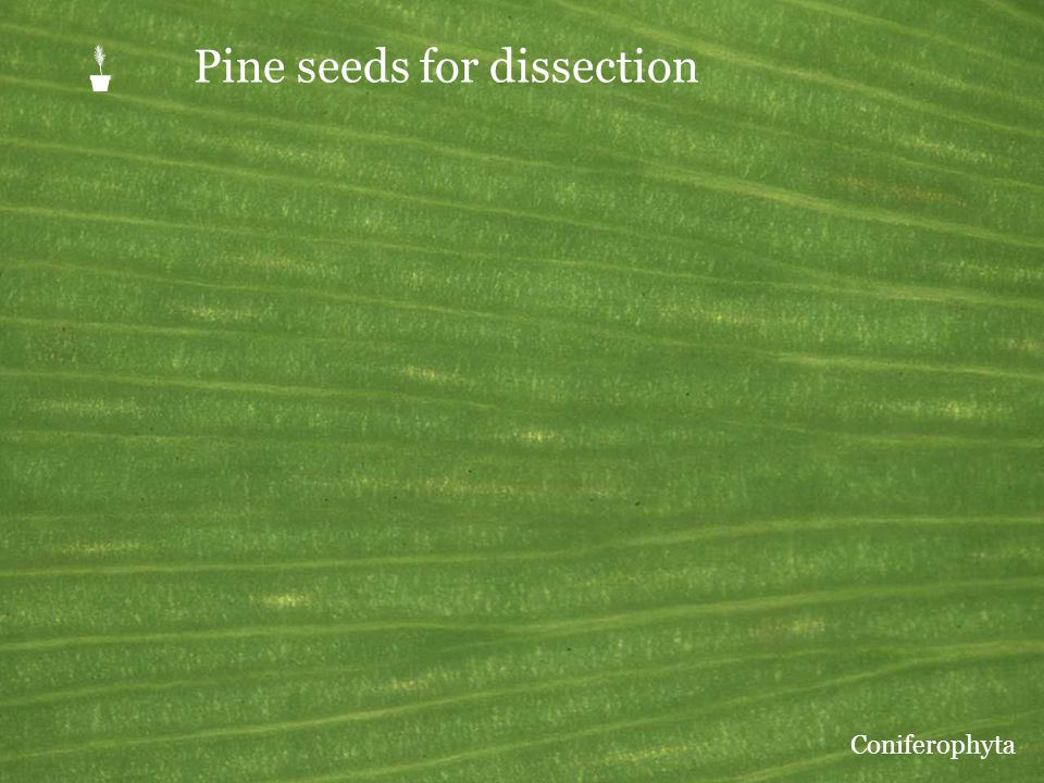 P Pine seeds for dissection