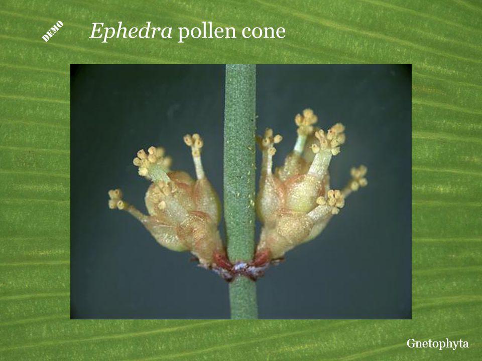 D Ephedra pollen cone Gnetophyta