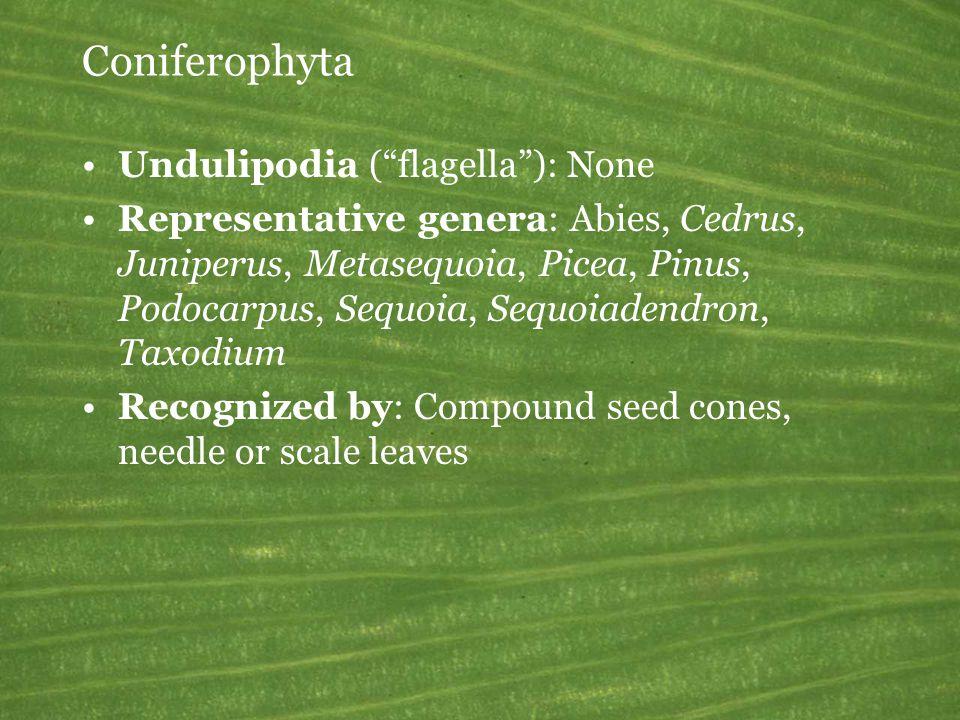 Coniferophyta Undulipodia ( flagella ): None