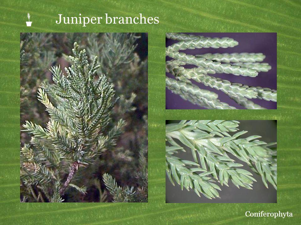 P Juniper branches Coniferophyta