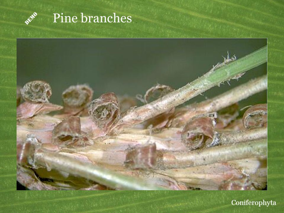 D Pine branches Coniferophyta