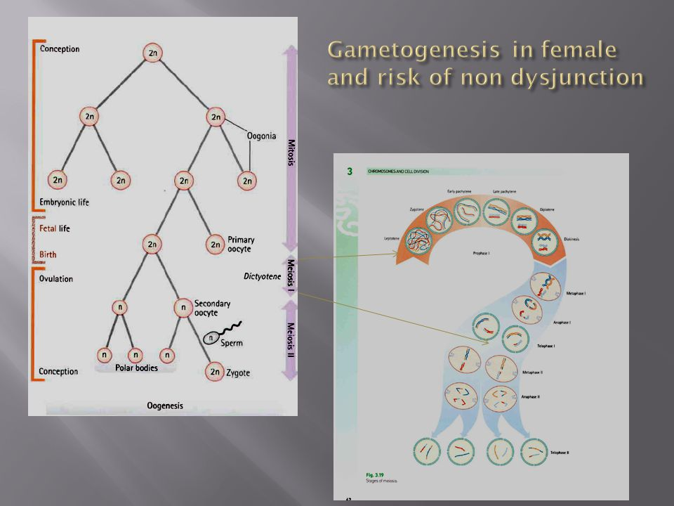 Gametogenesis in female and risk of non dysjunction