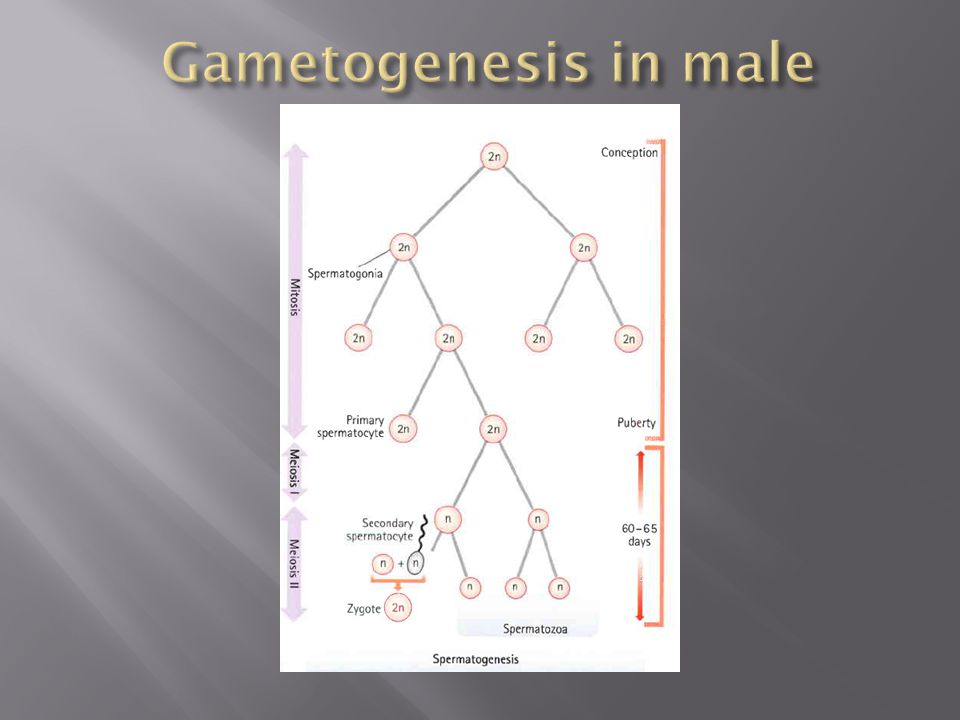 Gametogenesis in male
