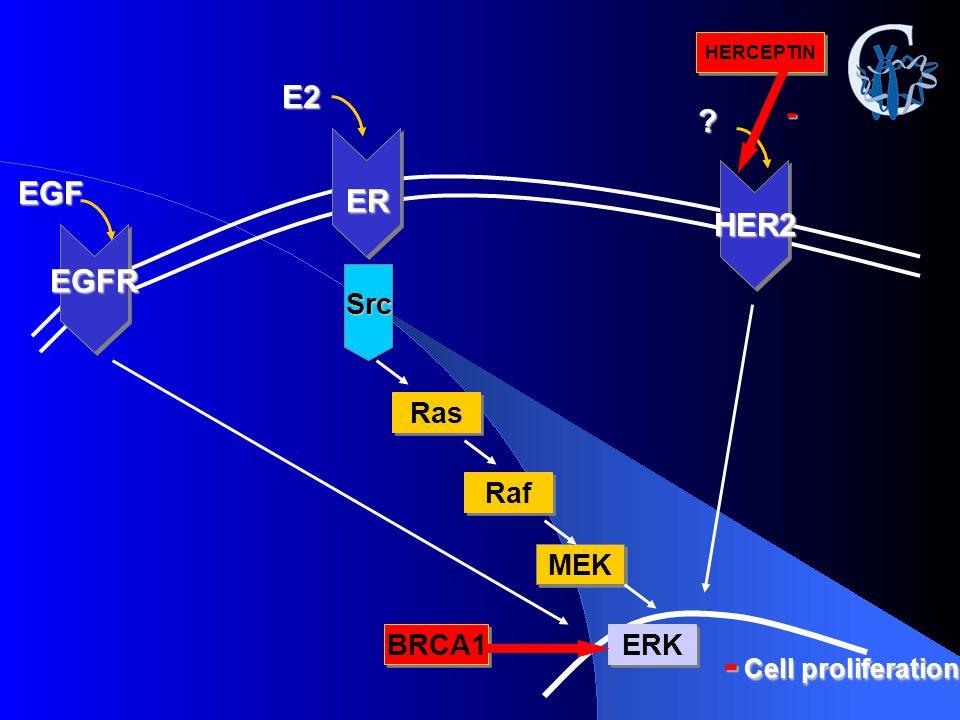 - Cell proliferation E2 - EGF ER HER2 EGFR Src Ras Raf MEK BRCA1 ERK