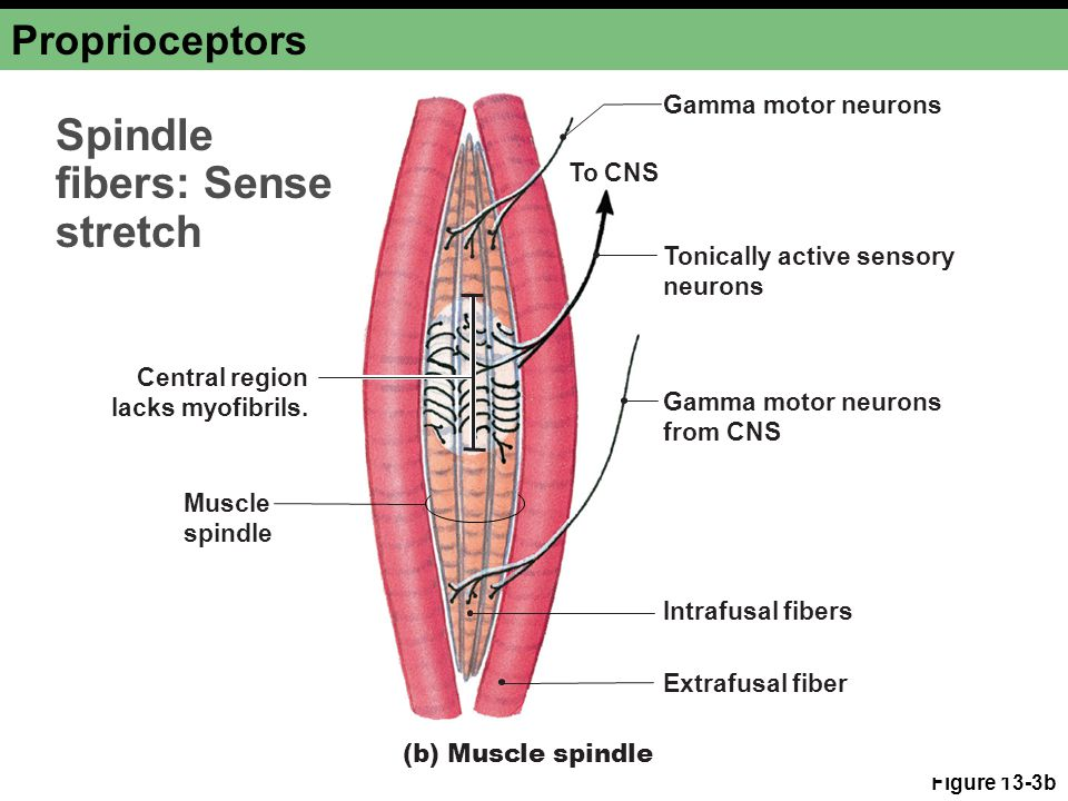 Spindle fibers: Sense stretch