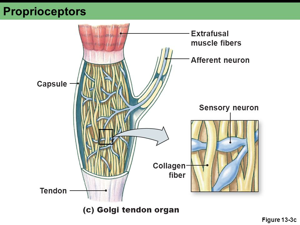 Proprioceptors Extrafusal muscle fibers Afferent neuron Capsule