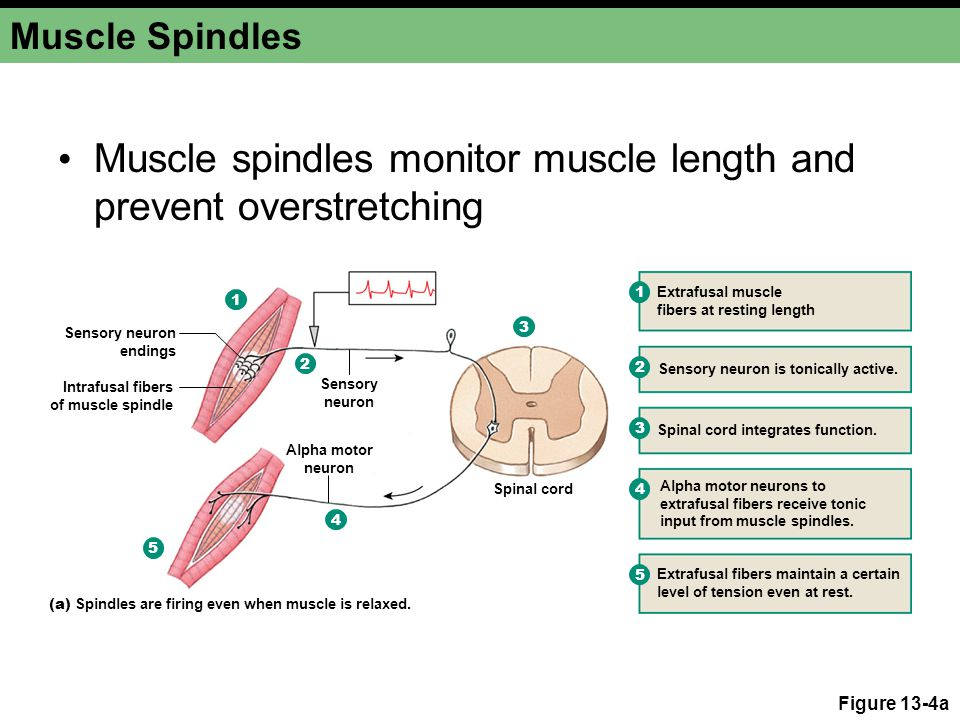 Muscle spindles monitor muscle length and prevent overstretching