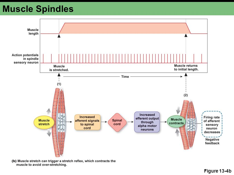 Muscle Spindles Figure 13-4b