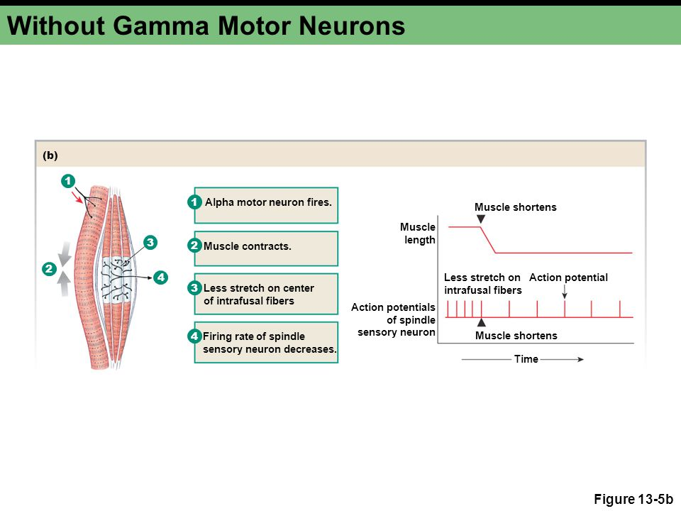 Without Gamma Motor Neurons