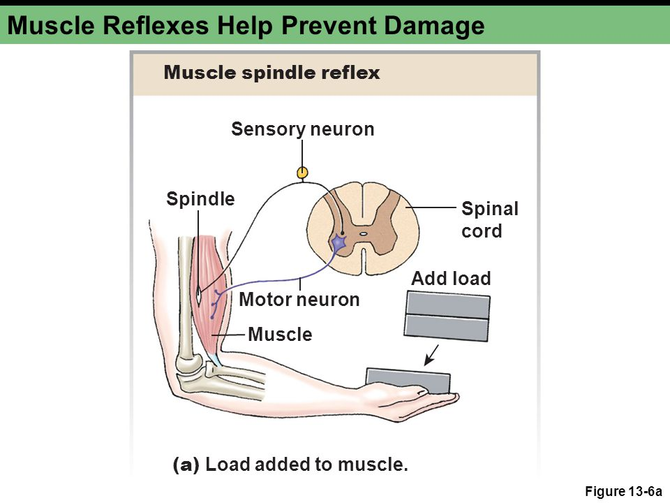 Muscle Reflexes Help Prevent Damage