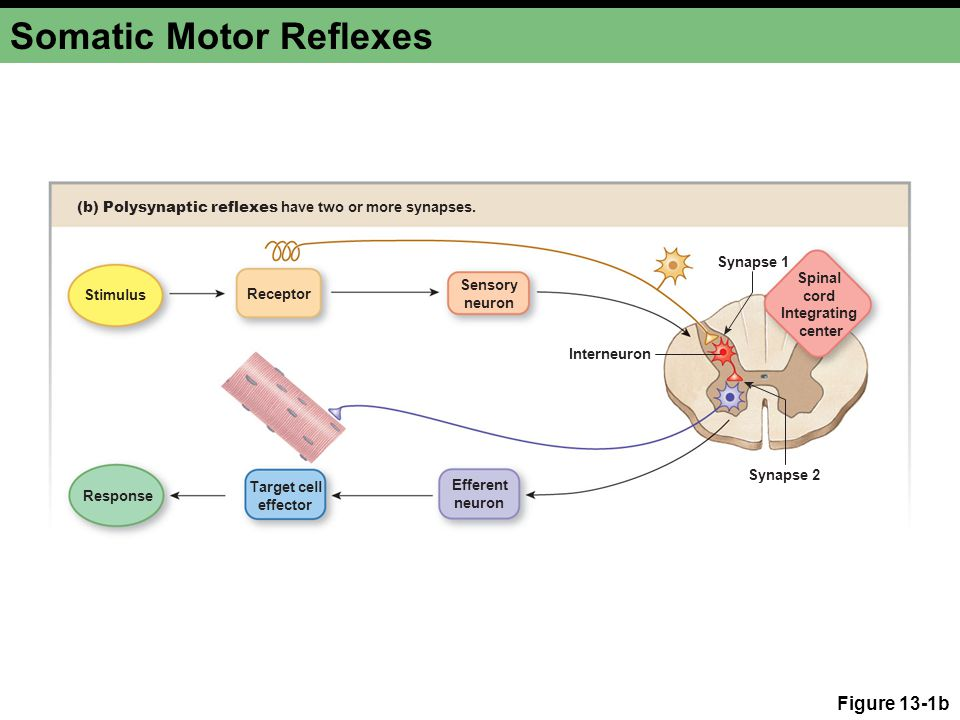 Somatic Motor Reflexes