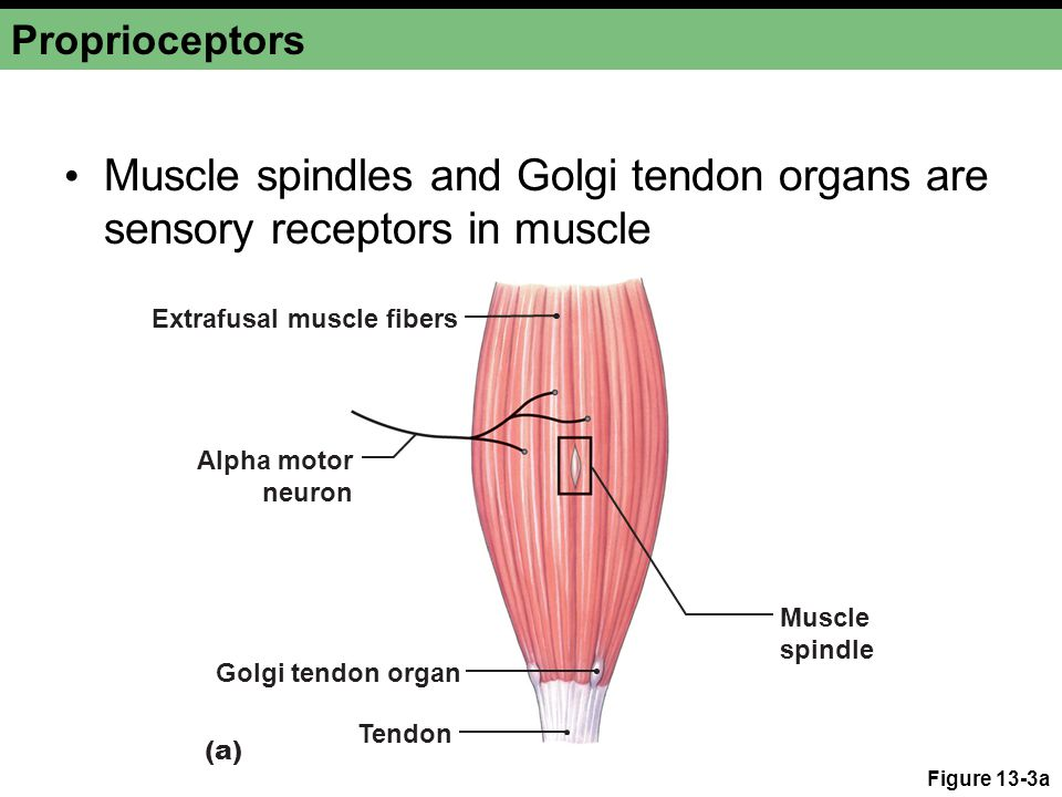Proprioceptors Muscle spindles and Golgi tendon organs are sensory receptors in muscle. Extrafusal muscle fibers.