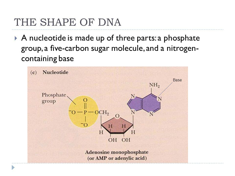 THE SHAPE OF DNA A nucleotide is made up of three parts: a phosphate group, a five-carbon sugar molecule, and a nitrogen- containing base.
