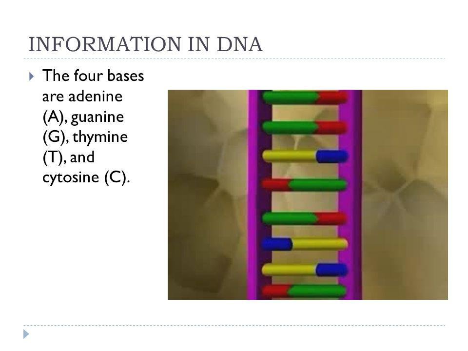 INFORMATION IN DNA The four bases are adenine (A), guanine (G), thymine (T), and cytosine (C).