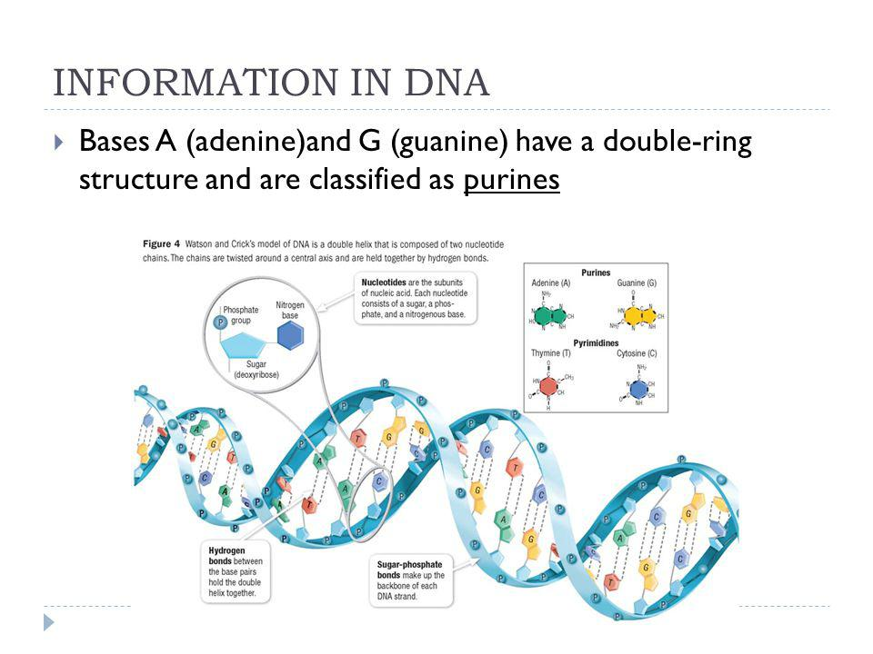 INFORMATION IN DNA Bases A (adenine)and G (guanine) have a double-ring structure and are classified as purines.