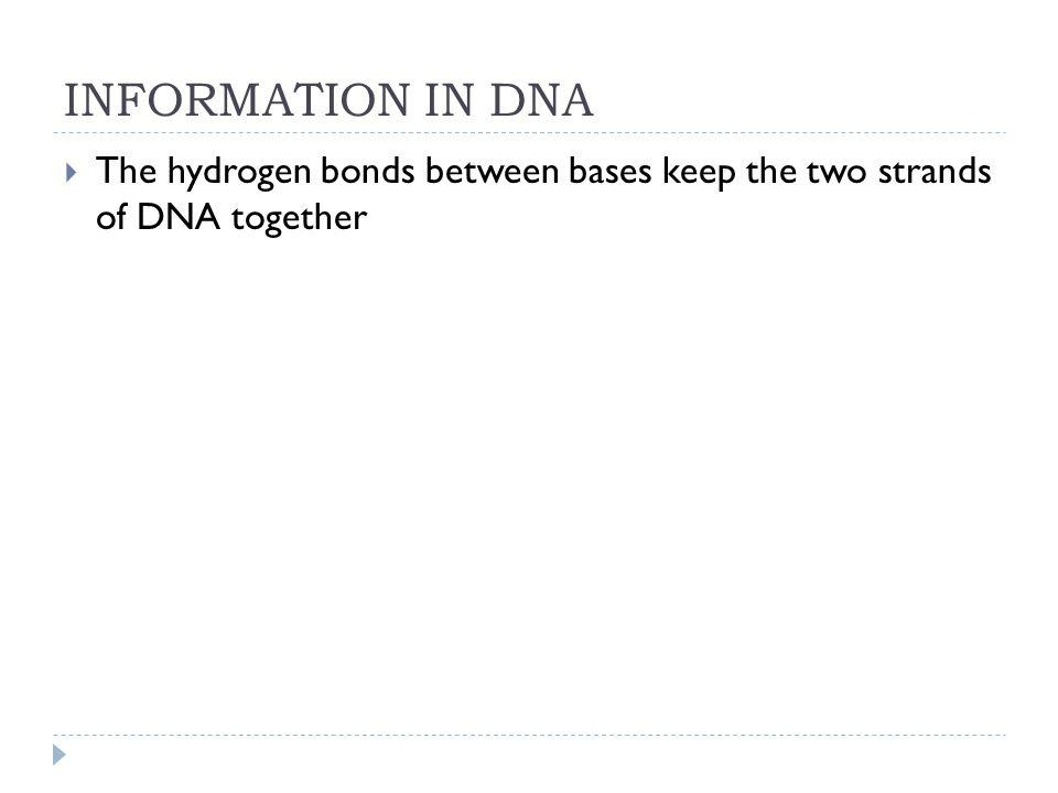 INFORMATION IN DNA The hydrogen bonds between bases keep the two strands of DNA together