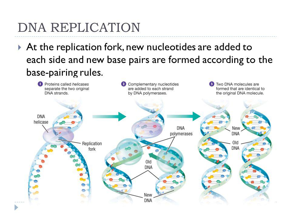 DNA REPLICATION At the replication fork, new nucleotides are added to each side and new base pairs are formed according to the base-pairing rules.