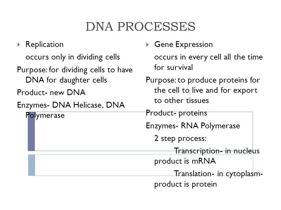 DNA PROCESSES Replication occurs only in dividing cells