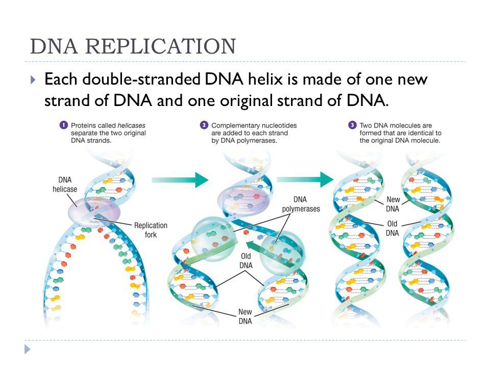 DNA REPLICATION Each double-stranded DNA helix is made of one new strand of DNA and one original strand of DNA.