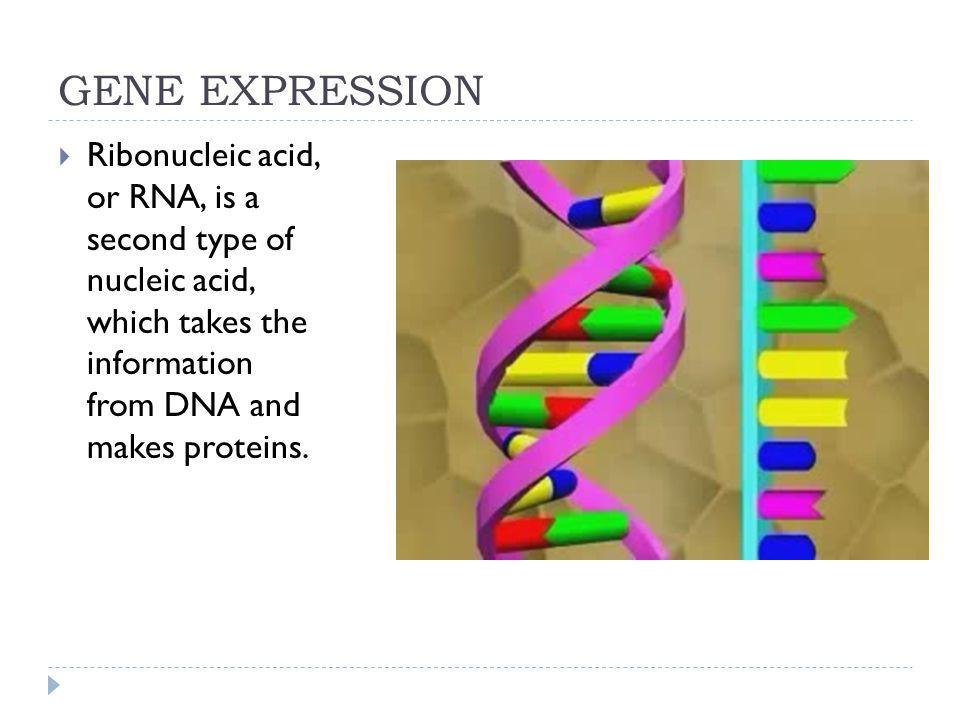 GENE EXPRESSION Ribonucleic acid, or RNA, is a second type of nucleic acid, which takes the information from DNA and makes proteins.