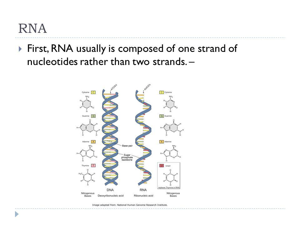 RNA First, RNA usually is composed of one strand of nucleotides rather than two strands. –