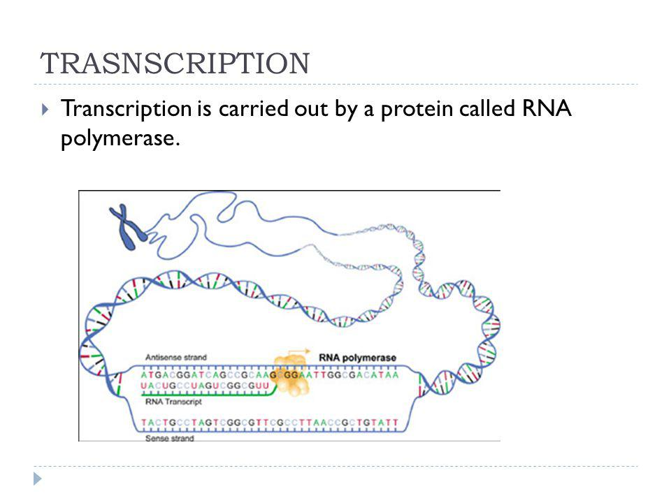 TRASNSCRIPTION Transcription is carried out by a protein called RNA polymerase.