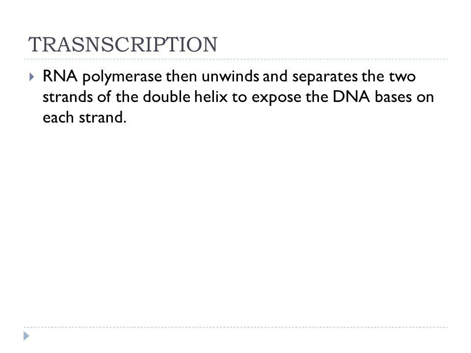 TRASNSCRIPTION RNA polymerase then unwinds and separates the two strands of the double helix to expose the DNA bases on each strand.