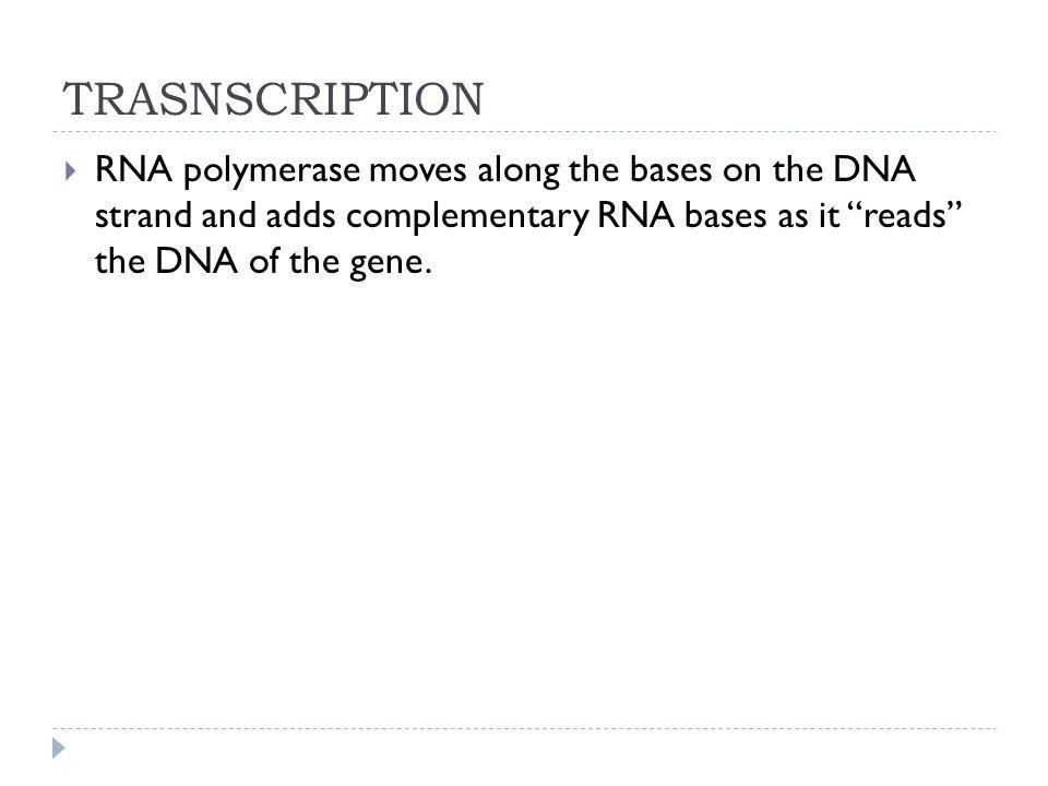 TRASNSCRIPTION RNA polymerase moves along the bases on the DNA strand and adds complementary RNA bases as it reads the DNA of the gene.